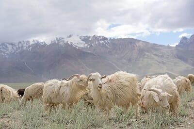Cashmere wool Origin